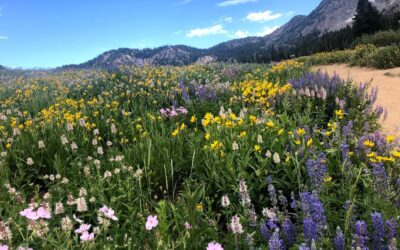 A Mini-guide to Wildflowers of the Wasatch